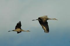 Dois guindastes de Sandhill no vôo Foto de Stock Royalty Free