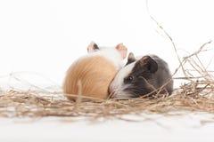 Dois hamster engraçados no fundo isolado branco Foto de Stock