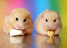 Dois hamster sírios que comem o jantar junto