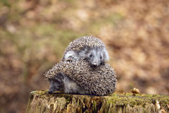 Dois hedgehogs fotos de stock royalty free