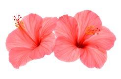 Dois hibiscus cor-de-rosa Imagem de Stock Royalty Free