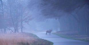 Dois hinds dos veados vermelhos na estrada de floresta enevoada Fotos de Stock