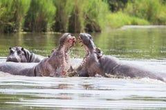 Dois hipopótamos masculinos enormes lutam na água pelo melhor território Foto de Stock