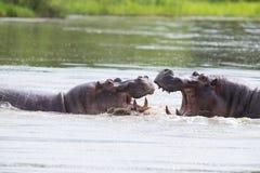 Dois hipopótamos masculinos enormes lutam na água pelo melhor território Fotos de Stock