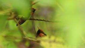 Dois homens do coquete Tufted, ornatus de Lophornis que senta-se no ramo durante a chuva, pássaro da floresta tropical da chuva,  filme