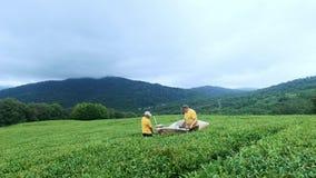 Dois homens são contratados no chá de montagem em uma plantação de chá Conjunto automático do chá filme