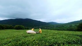 Dois homens são contratados no chá de montagem em uma plantação de chá Conjunto automático do chá vídeos de arquivo