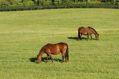 Dois horese em um campo. Imagem de Stock Royalty Free