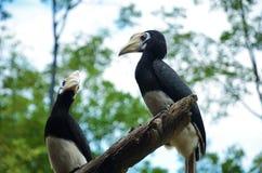 Dois Hornbills Pied que sentam-se em um ramo Fotos de Stock