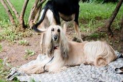 Dois hounds Foto de Stock