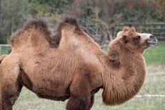 Dois humped o camelo bactriano peludo marrom fotografado no porto Lympne Safari Park em Kent, Reino Unido imagens de stock