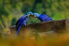 Dois Hyacinth Macaw, hyacinthinus de Anodorhynchus, papagaio azul Papagaio azul grande do retrato, Pantanal, Brasil, Ámérica do S fotos de stock royalty free