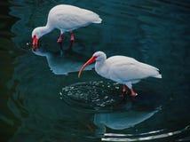 Dois ibises em um lago Imagens de Stock