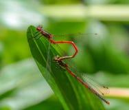 Dois insetos vermelhos da libélula que acoplam na folha verde a forma t Foto de Stock