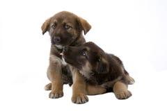 Dois irmãos bonitos dos filhotes de cachorro Imagens de Stock