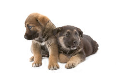 Dois irmãos bonitos dos filhotes de cachorro Fotos de Stock Royalty Free