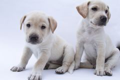 Dois irmãos, cachorrinho branco no branco do fundo Imagens de Stock Royalty Free