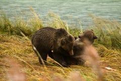 Dois irmãos do Alasca do urso de Brown jogam a luta, rio de Chilkoot foto de stock royalty free