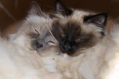Dois irmãos do gato do birman Imagem de Stock Royalty Free