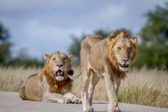 Dois irmãos do leão na estrada Imagens de Stock Royalty Free