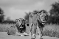 Dois irmãos do leão na estrada Imagem de Stock Royalty Free