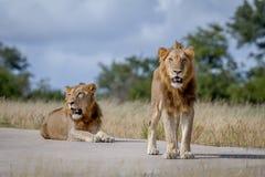 Dois irmãos do leão na estrada Imagem de Stock