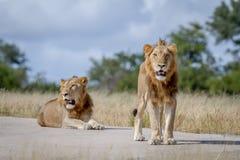 Dois irmãos do leão na estrada Fotografia de Stock Royalty Free