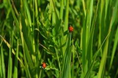 Dois joaninhas vermelhos na grama verde do prado do verão Imagem de Stock