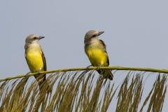 Dois Kingbirds tropicais Fotografia de Stock Royalty Free