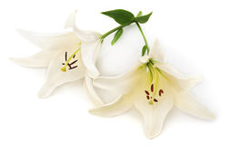Dois lírios brancos fotografia de stock royalty free
