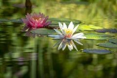Dois lírios de água bonitos n uma lagoa A esquerda é um por do sol alaranjado cor-de-rosa do ` s de Perry do nymphaea em um foco  fotografia de stock royalty free