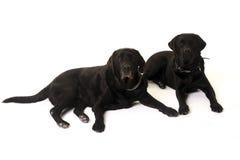 Dois Labrador Imagem de Stock