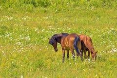 Dois lados snuggle, os cavalos que pastam no prado foto de stock royalty free