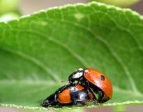 Dois ladybugs Imagem de Stock
