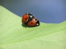 Dois ladybugs loving foto de stock