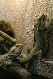 Dois lagartos Fotografia de Stock