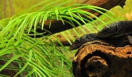 Dois lagartos Imagem de Stock