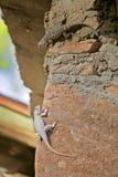 Dois lagartos diversos da mesma espécie mostram a pigmentação diferente imagem de stock