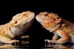 Dois lagartos farpados do agamá fotografia de stock