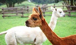 Dois lamas Fotografia de Stock Royalty Free