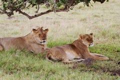 Dois leões Fotografia de Stock Royalty Free