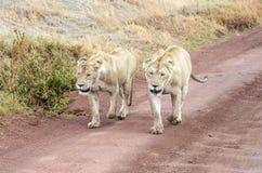 Dois leões Imagem de Stock