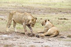 Dois leões Imagem de Stock Royalty Free