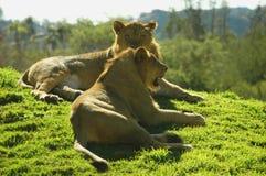 Dois leões Fotografia de Stock