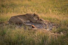 Dois leões adormecidos na grama no crepúsculo Fotos de Stock