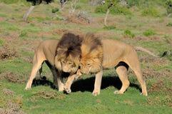Dois leões de Kalahari que jogam em Addo Elephant National Park imagem de stock