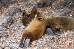 Dois leões de mar do bebê de Galápagos Foto de Stock