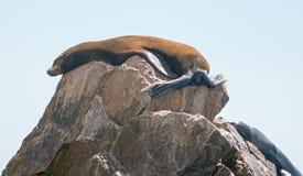 Dois leões de mar que descansam na rocha do pináculo em terras terminam em Cabo San Lucas Baja Mexico Imagens de Stock Royalty Free