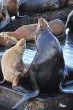 Dois leões de mar que relaxam Fotografia de Stock