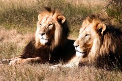 Dois leões masculinos Foto de Stock Royalty Free